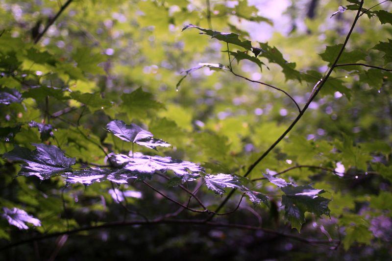 Rudbeckia-bergamo