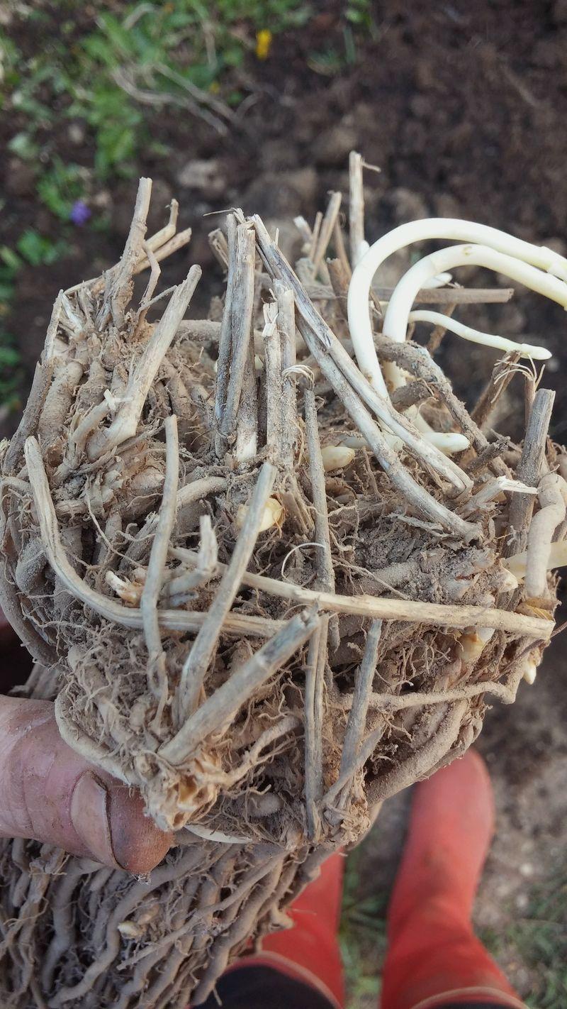 Asparagus-roots